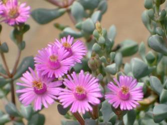 ハマミズナ科 オスクラリア属 白鳳菊(Aizoaceae Oscularia pedunculata)2011.05.25
