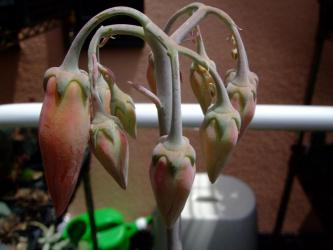 コチレドン属・嫁入り娘 (Cotyledon orbiculata cv Yomeiri-Musume)