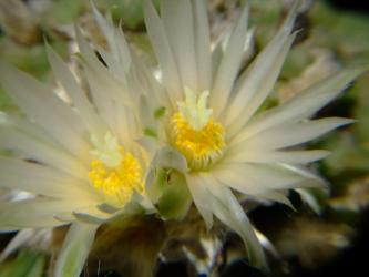 ロフォフォラ ディフューサ(翠冠玉)(Lophophora diffusa)2011.05.25 花