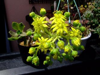 アエオニウム スミッチー(Aeonium smithii )開花~2011.05.25