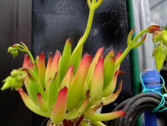 コチレドン属カンパニュラタ(Cotyledon campanulata)黄花2011.05.29