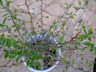 フォークィエラ科 イドリア属 コルンナリス(Fouquieria Idria columnaris)2011.05.29