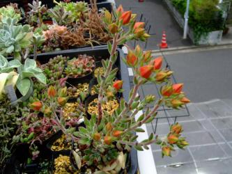 エケベリア属 紅輝炎(コウキエン)Echeveria cv. Set-oliver (♂E.harmsii×♀E.setosa) 2011.06.03