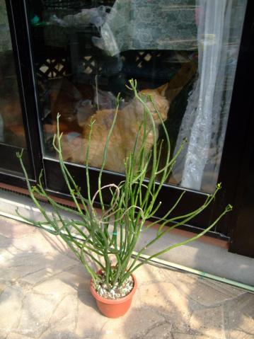 ユーフォルビア レウコデンドロン(Euphorbia leucadendron)2011.06.06.