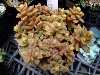 sedum caducum (×=Sedum pachycladus Afghanistan~)