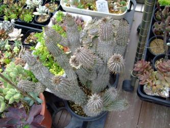 ホーディア ゴードーニ ハイブリッド?(Hoodia. gordonii=Hoodia. bainii)2011.06.07