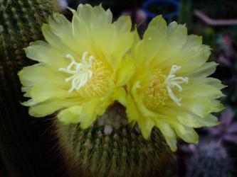 エリオカクタス 金晃丸(キンコウマル)~Eriocactus leninghausii 2011.06.11開花