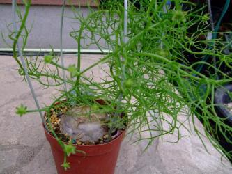 ユリ科 ボウィエア属 ボルビリス(Liliaceae Bowiea volubilis)