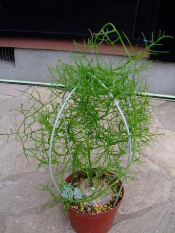ユリ科 ボウィエア属 ボルビリス(Liliaceae Bowiea volubilis) 2011.06.12