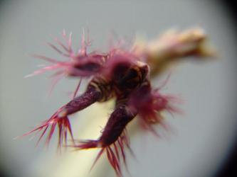 ガガイモ科 カラルマ属 アドセンデス(Caralluma adscendens)開花~2011.06.12