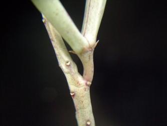 ガガイモ科 カラルマ属 アドセンデス(Caralluma adscendens)種鞘~2011.06.12