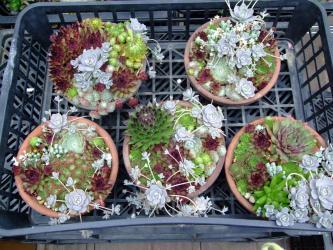 センペルビウム、オロスタキス、セダム大盛り!寄せ植え~2011.06.14