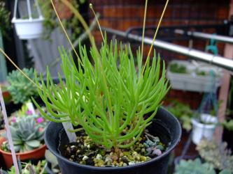 草花火( Talinum calycinum) スベリヒユ科