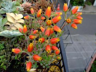 エケベリア属 紅輝炎(コウキエン)Echeveria cv. Set-oliver (♂E.harmsii×♀E.setosa) 2011.06.14