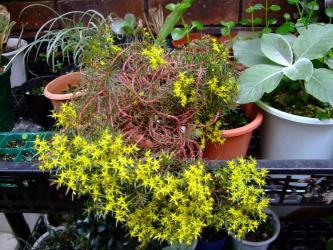 セダム 雲仙万年草(ウンゼンマンネングサ) Sedum polytricoides 2011.06.16満開