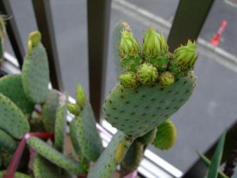 団扇サボテン 紅太鼓(べにたいこ)Opuntia rufida 2011.06.19