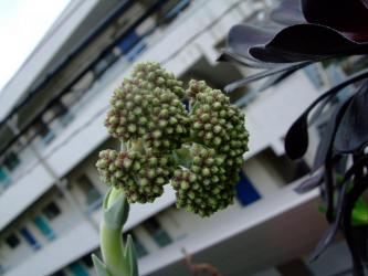 クラッスラ  神刀(ジントウ)Crassula perfoliata var. falcata, var. minor 2011.06.19