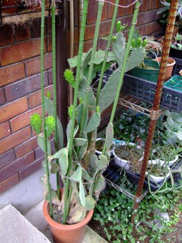 オプンチア 宝剣(ほうけん) Opuntia lanceolata 2011.06.19