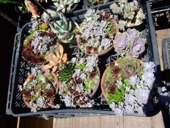 センペルビウム、オロスタキス、セダム大盛り!寄せ植え~2011.06.22