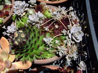 センペルビウム属(Sempervivum)P ヘップ~花芽w 2011.06.22