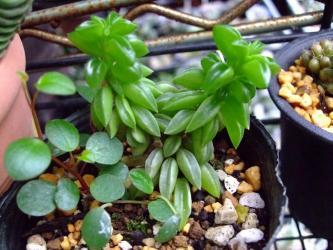 左~ペペロミア ペッパースポット(Peperomia pepperspot)&右~ニバリス(peperomia nivalis)