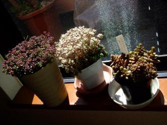 ・Sedum oreganum オレガヌム・Sedum dasyphyllum 大型姫星美人・sedum caducum