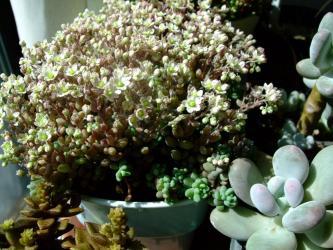 Sedum dasyphyllum(セダム 大型姫星美人・ビッグデージー・パープルヘイズ)