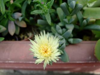 メセン科(ザクロ草科)コルプスクラリア属 リーマニー(Aizoaceae Corpuscularia lehmannii )2011.06.30開花