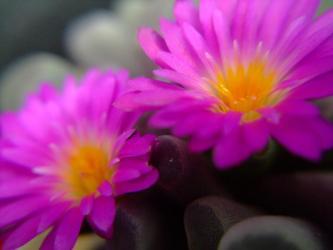 夏型?メセン~ハマミズナ科 フリチア属 光玉(Frithia pulchra) 2011.07.02咲いています!