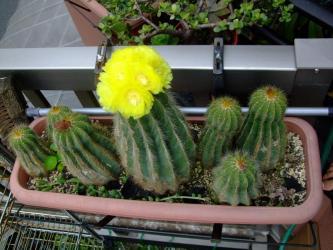 エリオカクタス マグニフィクス(Eriocactus magnificus)~和名:英冠玉(えいかんぎょく)2011.07.03