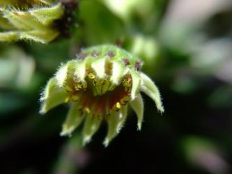 ●ベンケイソウ科 センペルビウム属(Sempervivum)P,ヘップ 2011.07.05