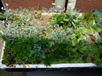 白爪レンゲ右上~センペルの寄植え~真夏の様子~生きてて良かったです!