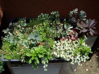 春先整理したセダムいろいろ達~こんなに茂っています!2011.07.10