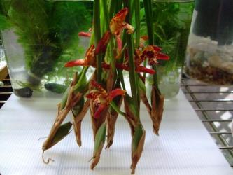 マキシラリア テヌイフォリア(Maxillaria tenuifolia)2011.07.08