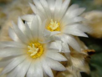 ロフォフォラ ディフューサ(翠冠玉)(Lophophora diffusa)2011.07.15