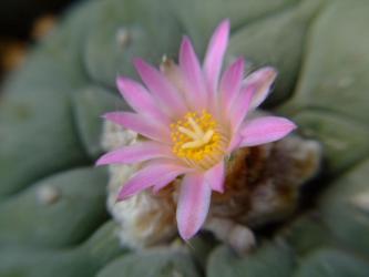 ロフォフォラ 銀冠玉(Lophophora williamsii var. decipiens) 2011.07.15