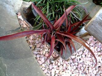 クリプトベルギア レッド バースト~ Cryptbergia Red Burst(Crypthanthus bahianus × Billbergia nutans)