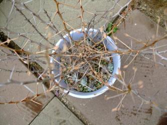 フォークィエラ科 イドリア属  カンポウギョク(観宝玉・観峰玉)Fouquieria Idria columnaris.2011.07.19