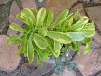 ユーフォルビア キリン角(ネリーフォリア)綴化斑入り(Euphorbia neriifolia variegata cristata)2011.07.19