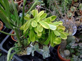 中央:ユーフォルビア キリン角(ネリーフォリア)綴化斑入り(Euphorbia neriifolia variegata cristata)左:硬葉キリン(へらキリン)右:落葉休眠期の~イドリア 観峰玉(カンポウギョク)