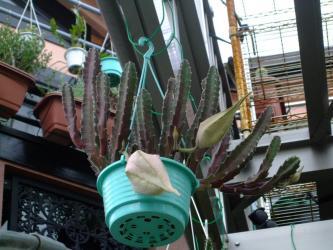 ガガイモ科 スタペリア属 王犀角/大犀角(オウサイカク/ダイサイカク)(Asclepiadaceae Stapelia gigantea) 2011.07.21大きな蕾
