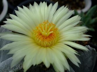 アストロフィツム属 鸞鳳玉(ランポー玉)/Astrophytum myriostigma 2011.07.23開花