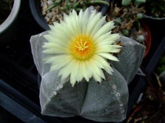 アストロフィツム属 鸞鳳玉(ランポー玉)/Astrophytum myriostigma 2011.07.23大輪花