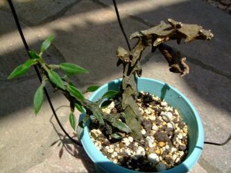 セロペギア属 アルマンディー( Asclepiadaceae Ceropegia armandii )2011.07.25