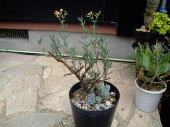 メストクレマ ツベローサム(Mestoklema tuberosum var. macrorhizum)2011.07.26