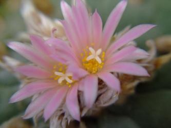 ロフォフォラ 銀冠玉(Lophophora williamsii var. decipiens)2011.08.01