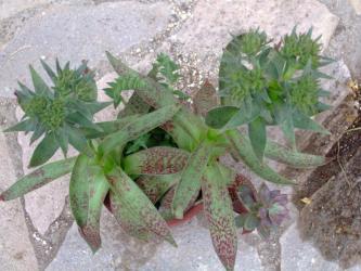 クラッスラ アルバ(Crassula alba var. parvisepala )まだ咲きません><花芽w2011.08.16