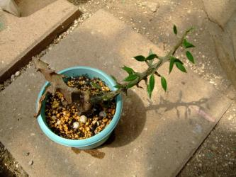 セロペギア属 アルマンディー( Asclepiadaceae Ceropegia armandii )2011.08.06