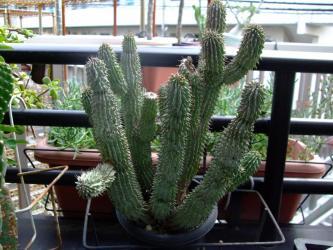ホーディア ゴードーニ ハイブリッド?(Hoodia. gordonii=Hoodia. bainii)2011.08.07