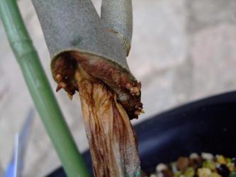 ディディエレア科 アローディア属 ドゥモーサ(Didiereaceae Alluaudia dumosa)痛んだ幹と辛うじて出ている根~2011.08.11